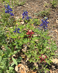 Blue and maroon Bluebonnets