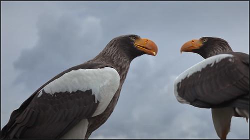 Sea Eagles Talk