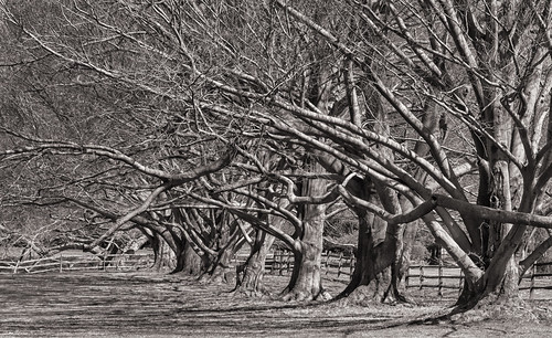 Beeches All In A Row