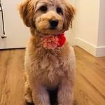 Phoebe's Past F1 mini puppies !!