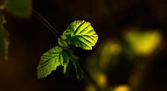 Hazelnut backlight
