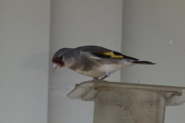 Gray-crowned Goldfinch