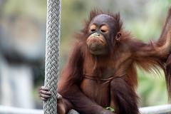 Funny Orangutan Blowing a Bubble