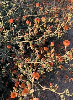 Desert Mallow orange in the evening light.