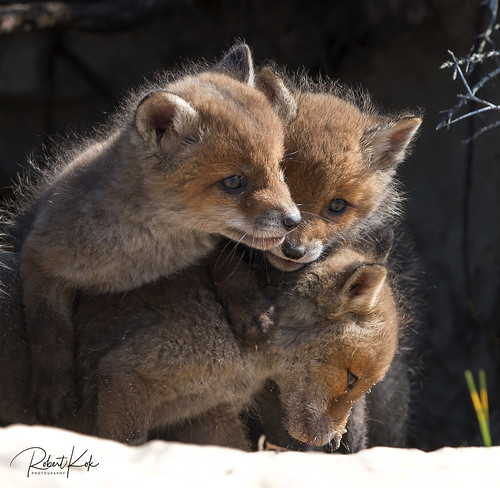 Playful young Red Fox pups!