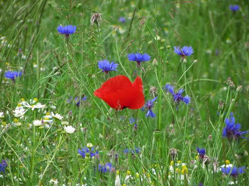 20120606 155 Blume Mohn rot Kornblume blau_K