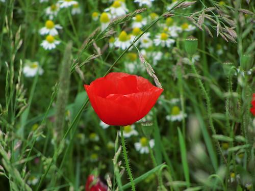 20120606 157 Blume Mohn rot Kornblume blau