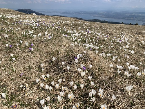 Carpets of crocus vernus at Mt Chasseron