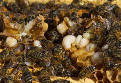 Honeybees with larvae