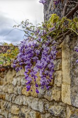 Glycine sur un mur - Photo of Écoyeux
