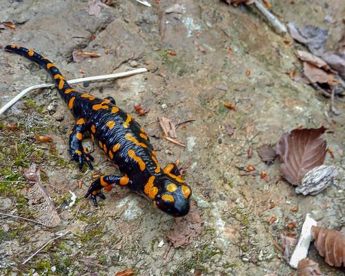 Feuersalamander orange gefleckt