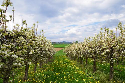 Verger de pommiers en floraison