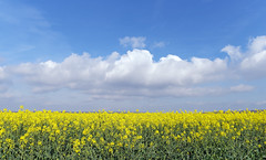 Rape field in the Regional Natural Park Oise Pays de France - Photo of Othis