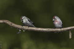 Image by Sylvain Prince (sylvain_prince) and image name Sizerin flammé / Common redpoll photo  about Lieu: Résidence / Home  Très abondant ces temps-ci dans les alentours. Tout indique qu'ils ne resteront pas longtemps pour poursuivre leur route vers le nord. -----------------------------------------  Very abundant these days in the surroundings. All indications are that they will not stay long to