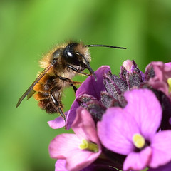 Empingham Bees, Bumblebees, Wasps, Ichneumons and Sawflies