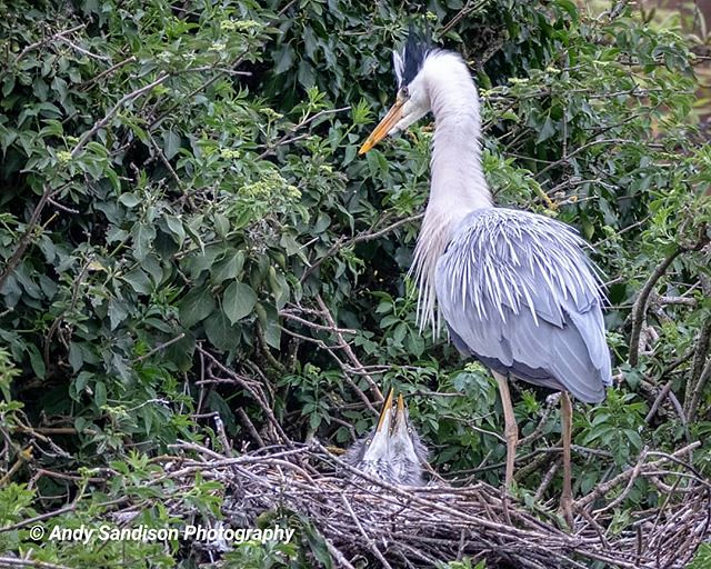 Hungry Babies #abingtonpark onpark #northampton #outdoors #naturephotography #wildlifephotography #heron #herons #birds #whereilive #outdoorphotography #outdoorsisfree #nature #wildlife_photography #heronry #canon80d #ishootwithcanon #canonuk #canoneos #m