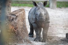 Rhino Calf Looking Curious