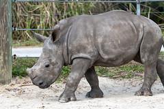 Rhino Calf Walking