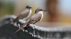 Gray Kingbird- Anclote Gulf Park (Pasco County)