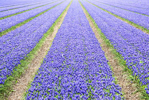 Grape hyacinths, spring in the Netherlands