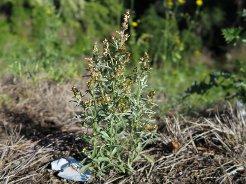 Gamochaeta calviceps plant NC16