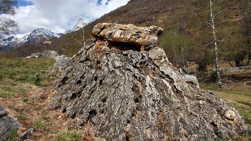 Alter Stamm einer Edelkastanie (Castanea sativa) im Bergweiler Cropp (709 m.ü.M.)
