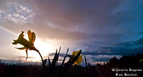 Jonquille au coucher de soleil