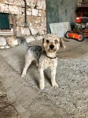 Filou, süße Hundedame der Pilgerherberge, Amettes, Frankreich