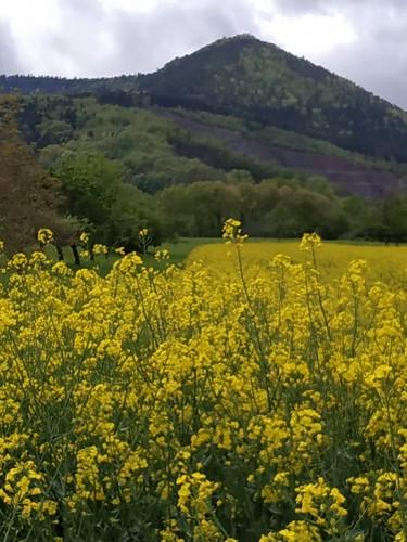 Colza et Mont Sainte Odile