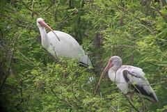 White Ibis-2467
