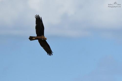 Falco di palude ( Circus aeruginosus )