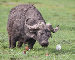 Wallowing Cape buffalo