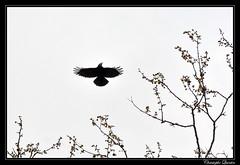 Corbeau freux (Corvus frugilegus) - Photo of Belan-sur-Ource