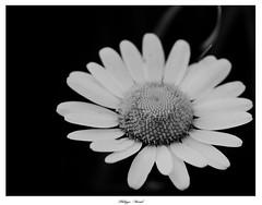 Marguerite :)) - Photo of Nassiet