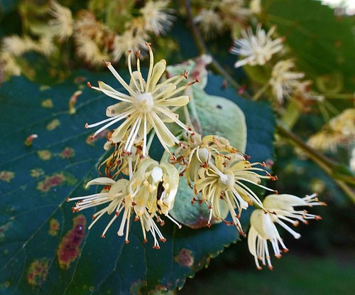 椴樹屬 Tilia insularis   [溫哥華植物園  VanDusen Botanical Garden, Vancouver]