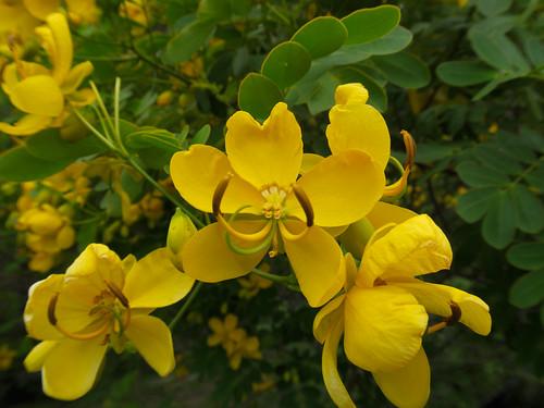 Senna pendula flower NC1