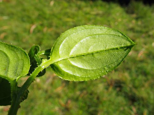 Hackelia latifolia leaf NC3
