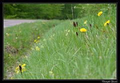 Orchis militaire (Orchis militaris) sur un talus