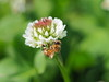 Photo:Western honey bee (セイヨウミツバチ) on a white clover flower (Trifolium repens, シロツメクサ) By Greg Peterson in Japan