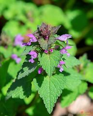 Purple Dead-nettle or Red Dead-nettle (Lamium purpureum) (DFL0960)
