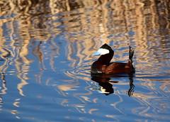 Ruddy duck at Seedskadee National Wildlife Refuge