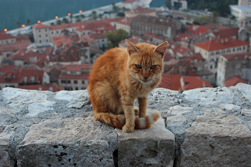 King of the Cats - Kotor, Montenegro