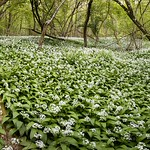 Fab wild garlic in North Hampshire