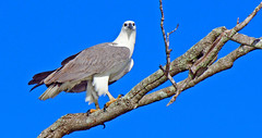Osprey looking at me
