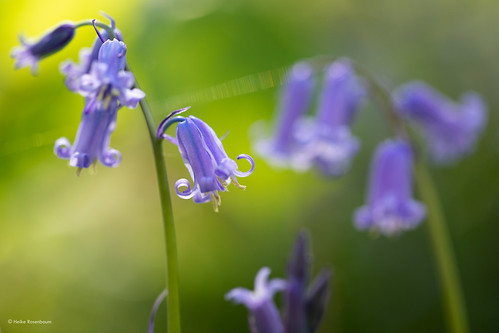Bluebells in the sun