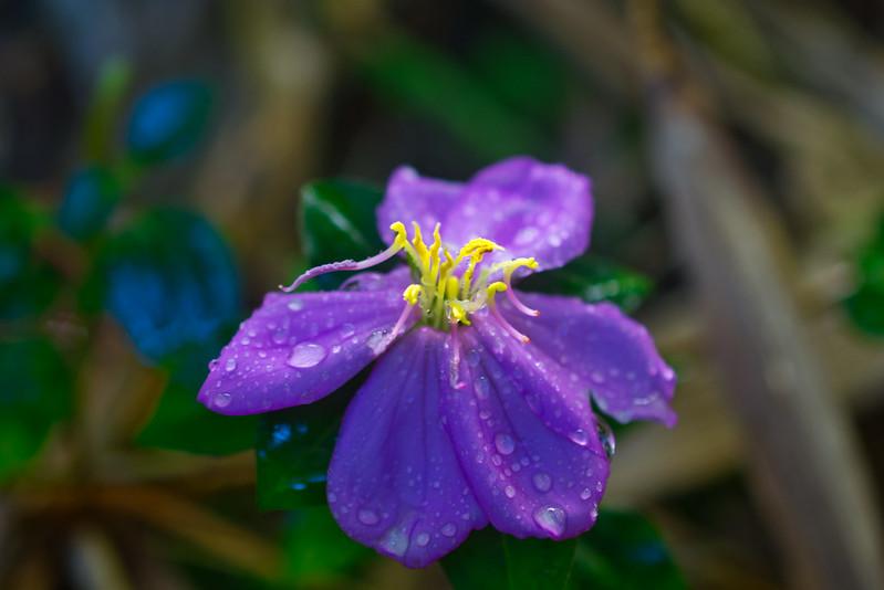 Maui Purple