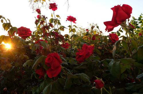 Ocaso y rosas