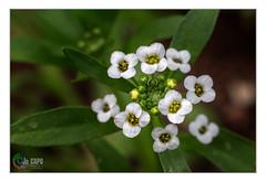 "Lobularia maritima :""Aucun chemin de fleurs ne conduit à la gloire."" - Photo of Fontenilles"