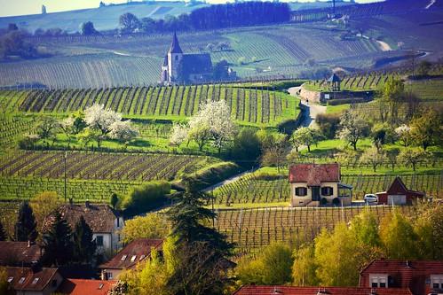 Vignoble alsacien - alsatian Wineyard (Ribeauvillé, F)