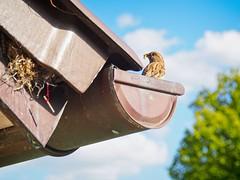 Futterzeit - House Bird Bokeh - 12. Mai 2019 - Tarbek - Schleswig-Holstein - Deutschland